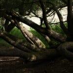 arbre noueux - copyright carmel du havre